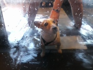 Kathy and Katherine have been taking Noodle for her Therapy - here she is working out on the underwater treadmill..